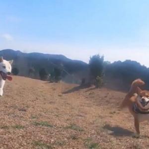 柴犬が並んで疾走した結果→「お互い楽しそうな表情」「超絶、笑顔」