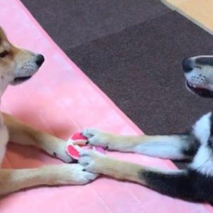 柴犬が論争する動画「両者、そのおもちゃは自分の物だと主張しております」「話し合いで平和に解決しようとしてる貴重なシーン」