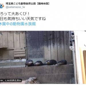 カワウソたちがそろって大あくび! 休園中の動物園で撮影されたキュートな動画