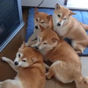 柴犬が一家で集まった結果→「ストーブ前で柴団子」「冷え込みましたからね」