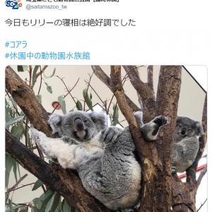 休園中の動物園がコアラのセクシーポーズを公開 「人はいってる?」「ウインクしてる」の声
