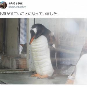 おたる水族館のペンギンの肉体美に注目集まる 「キレてるキレてる!」「仕上がってるよ」