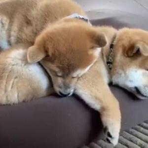 柴犬の仔犬「めっちゃピクピクしてる」 動画ツイートが話題に「走ってる走ってる」「可愛すぎるもふ柴団子」