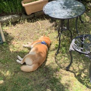 「毎日庭に柴犬が落ちてます」 ツイート投稿に「拾いたいっ」との声続出