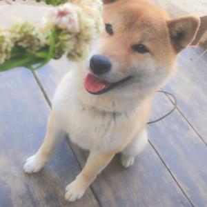 柴犬に花冠を作った結果→「秒で破壊」「おやつかとかぶりついたらおいしくなかった、て顔」