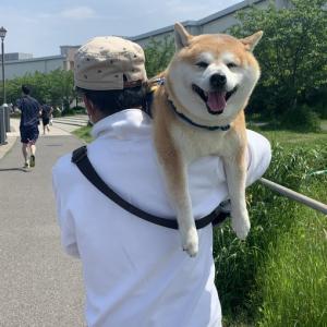 柴犬が暑い日に散歩した結果→「犬に散歩させられている人」「めちゃ笑顔だね」