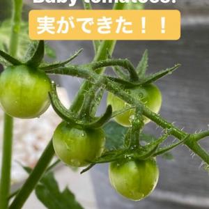 """「公式でやるなよ」「絶対嫁の趣味やん」二宮和也が嵐公式インスタに家庭菜園投稿で""""トマト栽培""""が話題に「ベランダ温室なの?」"""