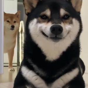 黒い柴犬が笑顔をみせる⁉ 動画ツイートが話題に「めっちゃ口角上がってる」「後ろも可愛い」
