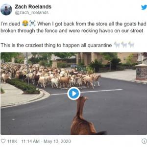 カリフォルニアに出現したヤギの大群 道路や歩道がヤギの排泄物だらけである意味世紀末