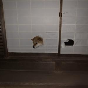 柴犬が「お帰りなさい」のお出迎えをした結果→「柴が生えてますね」「壁に耳あり 障子に柴犬」