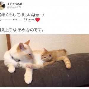 お兄ちゃん猫にべったり……! 甘え上手な子猫のおねだり動画にTwitter民メロメロ