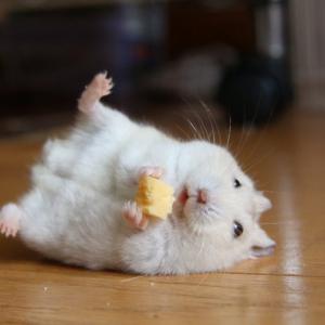 ハムスター「チーズうめー!」 コロンと転がるツイートが話題に「間違いなく言ってる」「表情の破壊力がヤバイ」
