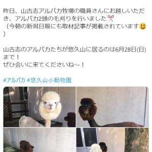「ポンデライオンにしか見えん」 長岡市悠久山小動物園「アルパカ毛刈りしました」ツイート投稿が話題に