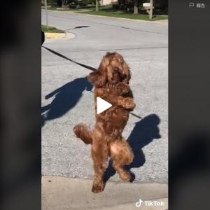 四足より二足歩行が好きなんです まるでダンスしながら歩いているように見えるワンコ