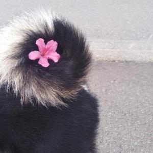 柴犬が巻尾を一輪挿しにされた結果→「素晴らしい巻っぷり!」「しっぽ生け花チャレンジ」