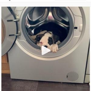 ドラム式洗濯機の中から出たくないブルドッグ 自分の部屋と勘違いしてるレベルのリラックス感
