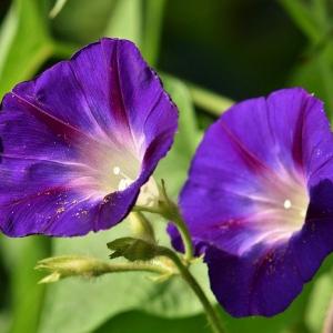 朝顔の花言葉はなに?爽やかな夏の朝のようなものからちょっと怖い花言葉まで