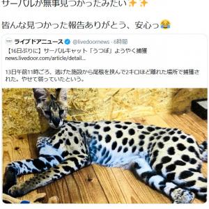 脱走したサーバルキャット捕獲のニュースに尾崎由香さん「 サーバルが無事見つかったみたい 皆んな見つかった報告ありがとう、安心っ」