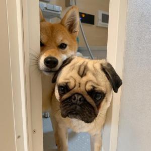 柴犬とパグが風呂場から顔をのぞかせた結果→「なんか笑える!!可愛いもん」「可愛いの渋滞」