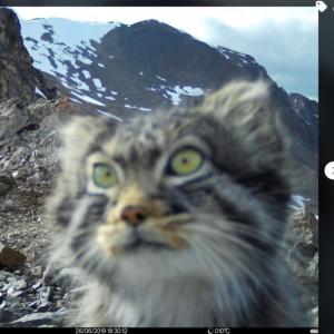 ひょっこり!  自然保護区に設置されたカメラが野生のマヌルネコを激写