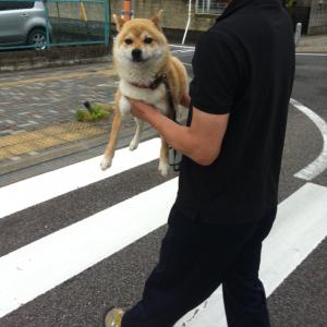 柴犬が「行かぬ」をした結果→「こうやって運んであげます」「不本意なり。って顔してますね」