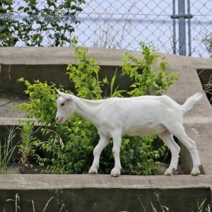 あのニュースになった「崖の上のヤギ」に会えちゃう!千葉県「佐倉草ぶえの丘」で一般公開がスタート