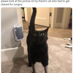 手術するのに邪魔な毛をカットされたネコが話題 「縮んだセーターみたい」「おしゃれな感じにも見える」