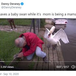 雛鳥を助けようとするおじさんに敵意むき出しの白鳥 「1ミリも感謝されてない」「このおじさん最高」