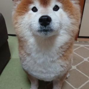 柴犬がびっくりするほど大きなおならをした結果→「あたしじゃないって目が言ってますね」「え、何か聞こえました?」