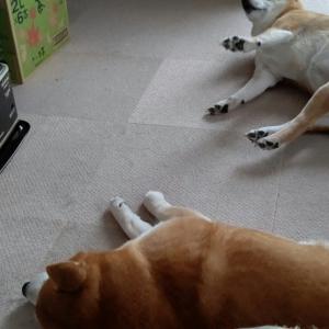 柴犬たちがストーブ前で暖を取る姿に「君たち、立派な冬毛があるじゃないか」「柴犬の皮を被った猫達」の声