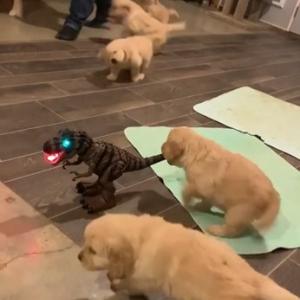 恐竜のおもちゃにやたらと食いつくゴールデン・レトリーバーの子犬たち 「これが恐竜が絶滅した本当の理由」「おもちゃと入れ替わりたい」