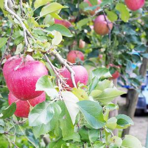 甘くやわらかな青りんご「王林」の収穫真っ只中! 台風19号千曲川決壊で被災した長野・キタイチ果樹園の現在
