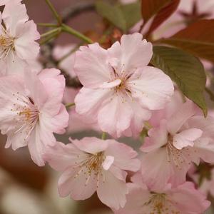 『千本桜』はAKB48の楽曲? ミュージカル『千本桜』のキャスト発表で一波乱