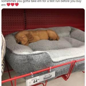 ベッドの寝心地を試しているうちに寝落ちしてしまったゴールデン・レトリーバーの子犬 「間違いなくお買い上げですね」「ウソみたいに可愛い寝顔」