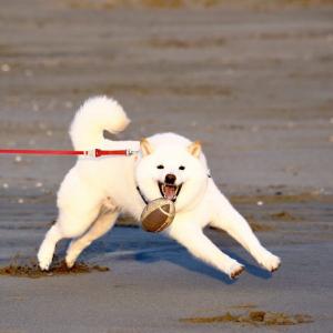 白い柴犬がボールを見つけた結果→「今シーズン一番の冷え込みでハジける」「オシリがたまりません…!!」
