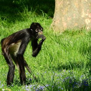 手足と尻尾が長い「クモザル」は、樹上生活に適用するための進化をしたおサルさん