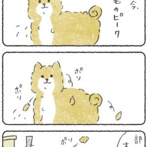 """柴犬の""""ポソポソ""""抜け毛をとった結果→「毎秒毛を作り出してる!?」「モッファ」"""