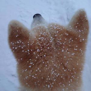 秋田犬の頭に雪が降った結果→「シュークリームにみえます」「これは揚げパンのお砂糖かかったのだ~」