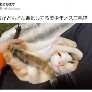 """個性的な体勢で甘える""""オス三毛猫""""の動画に注目集まる 「こんなんされたらメロメロ」"""