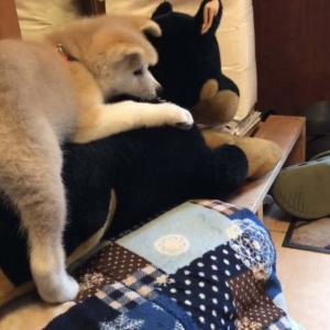 秋田犬とぬいぐるみの成長を観察した結果→「小さかったのにすっかり大きくなった」「ぬいぐるみぼろぼろ」