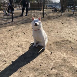 """柴犬が""""ドッグラン""""に行ったのにほぼ走らずドヤ顔「行って満足するのわかるわ〜」「気分最高だよ?」"""