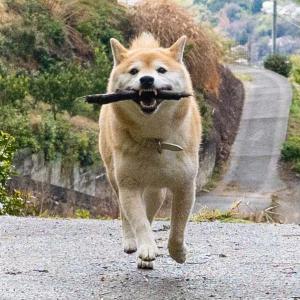 「犬も歩けば棒を……くわえてどこ行くねん!」 棒をくわえてまた別の棒を持って去る柴犬
