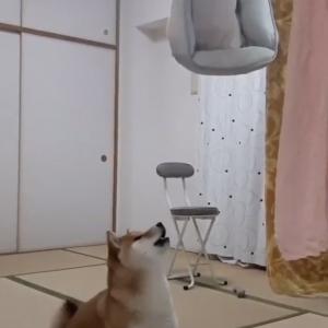 柴犬のベッドを洗った結果→「ひたすら文句を言われ続ける」「暴走族のコールみたいで可愛い」