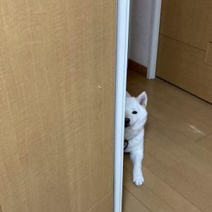 柴犬が仕事部屋をひかえめにのぞきにくる瞬間「半分だけ見えるのがまた……」「ほんとに控えめですね!」
