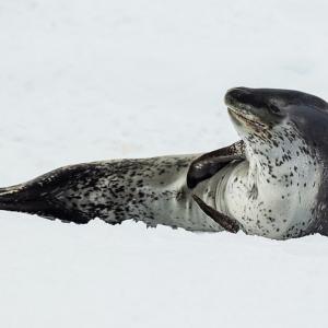 南極海最強!ヒョウアザラシはアザラシだけど強くて怖い・・・