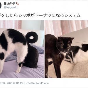 「ニャルソックの環」「指突っ込みたい」 藤あや子さん愛猫2匹の「シッポがドーナツになるシステム」がきゃわわすぎ!