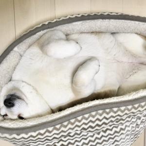 柴犬の寝姿がネットで反響「アザラシかな?」「おそらく犬です」