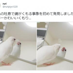 「世界一かわいいくもり…」 吐息で鏡をくもらせる文鳥の写真に胸キュンする人続出
