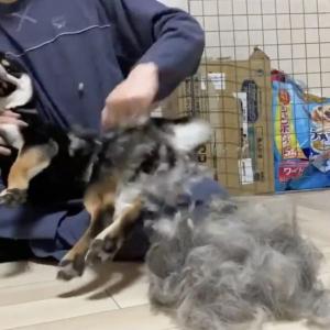 柴犬のブラッシング動画がネットで反響「毛が短そうなのに なぜこんなにあるの」「その毛少し僕の髪に分けて貰えますか?」