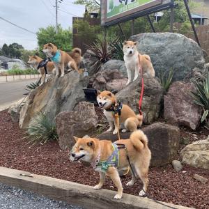 柴犬の集合写真を撮った結果→「猿山ならぬ、柴犬山」「圧巻の柴犬軍団ですね」